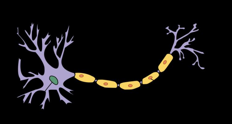 800px-neuron