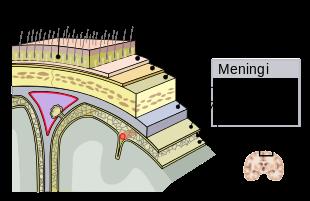 meninges-it