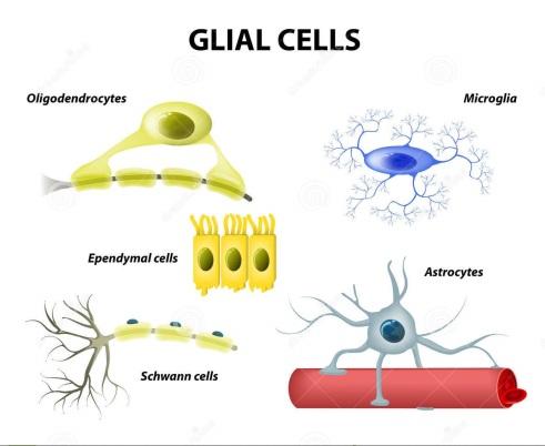 supporting-cells-neuroglia-glial-cells-types-classification-microglia-astrocytes-oligodendrocytes-schwann-ependymal-47597814