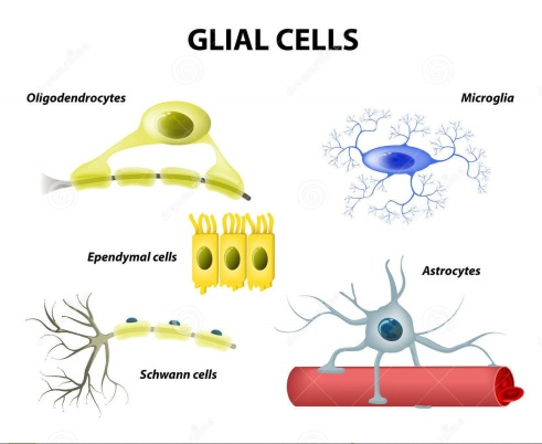 supporting-cells-neuroglia-glial-cells-types-classification-microglia-astrocytes-oligodendrocytes-schwann-ependymal-47597814